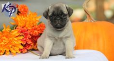 Keystone Puppies has a puppy finder feature setting you up to find and buy a dog perfect for your home. Pug Puppies, Pet Puppy, Pet Dogs, High Quality Dog Food, Puppy Finder, Cheap Dog Food, Carlin, Pugs And Kisses, Buy A Dog