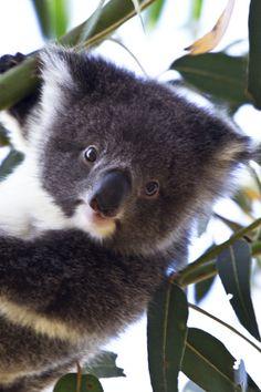 "AUSTRALIA: HANSON BAY WILDLIFE SANCTUARY -- WILD, BABY KOALA leans out!  Baby koala is at AUSTRALIA'S KANGAROO ISLAND at Hanson Bay Wildlife Sanctuary 's ""Koala Walk"" that takes you right into a wild koala colony.  Get travel tips on planning for koala magic in Australia at http://www.examiner.com/travel-in-national/astounding-nature-casts-a-spell-of-koala-magic-australia"
