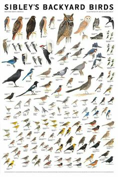 Sibleys Backyard Birds Western N. Pretty Birds, Love Birds, Beautiful Birds, Bird Identification, Bird Poster, Backyard Birds, Fauna, Wild Birds, Bird Prints