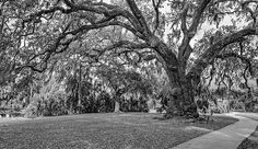 New Orleans City Park Path 3 Bw.  City Park in the heart of New Orleans is a grand place for an evening reverie and to absorb the beauty of the ancient live oaks. This grove beside the lagoon has massive trees dating from the time of Columbus. It is a most magical place!