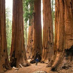 Opinions on Sequoia National Park. Give your opinion about Sequoia National Park Sierra Nevada, Sequoia National Park California, Sequoia California, California Usa, Nationalparks Usa, Road Trip, Motifs Animal, Camping Resort, Giant Tree