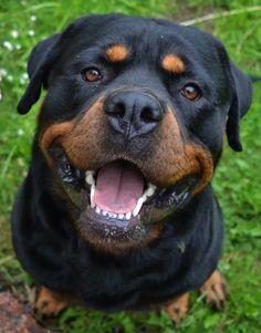 Ollie the Rottweiler :) Rottweiler Love, Rottweiler Puppies, Beautiful Dogs, Animals Beautiful, Cute Animals, Beautiful Creatures, Cute Dogs And Puppies, Big Dogs, Doggies