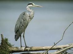 standing heron - Google Search Grey Heron, Beer, Animals, Image, Google Search, Design, Animales, Ale, Animaux