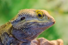 bearded dragon diet