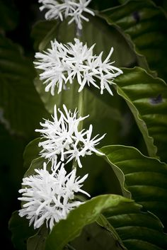 Coffee Flowers (Coffea Arabica)