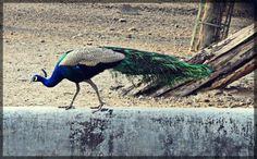 Peacock in the Deer Park, Hauz Khas Village