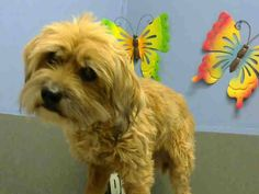 #A442801 (Moreno Valley, CA) spayed female, tan Terrier mix mix. The shelter thinks I am about 6 years old. I have been at the shelter since Nov 14, 2014 and I may be available for adoption on Nov 21, 2014 at 4:55PM.  ... City of Moreno Valley Animal Control Services. https://www.facebook.com/135559229932205/photos/a.382565775231548.1073741961.135559229932205/384826548338804/?type=3&theater