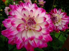 "sorbet dahlia (6 1/2"" bloom; 5' bush): hot pink tips on pointed"