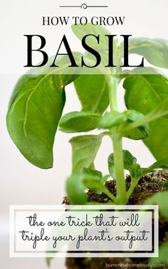 Pruning or trimming your basil is the best way to increase leaf growth. Detailed instructions on how to do it included in this post! From The Humming Homebody
