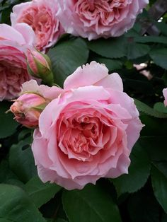 Paul Bocuse rose - Apricot center, pink edges.  Clusters as many as 9! Disease resistant. 5 ft. tall