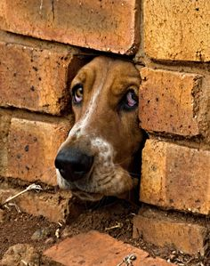 Peeping Bassett Hound - I was taking a walk in a local bird sanctuary when this Basset Hound stuck its nose through a drainage hole in the wall to see what was going on.