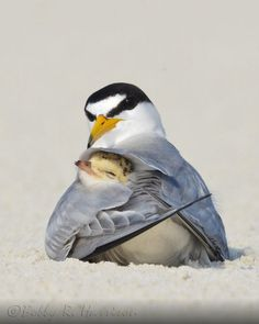 Least Tern, Sternula antillarum; Least Tern Colony; Photo by Bobby Harrison Least Tern, Sternula antillarum; Least Tern Colony; Photo by Bobby Harrison Pretty Birds, Love Birds, Beautiful Birds, Animals Beautiful, Cute Baby Animals, Animals And Pets, Funny Animals, Tier Fotos, All Gods Creatures