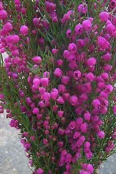 Boronia flowers