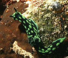 Philippines Nudibranchs