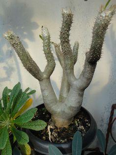 Pachypodium densiflorum var. brevicalyx
