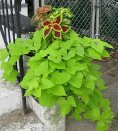 sweet potato vine: A must in decorative containers
