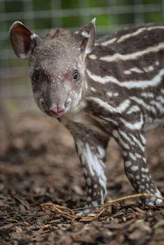 baby Brazilian Tapir - Zooborns
