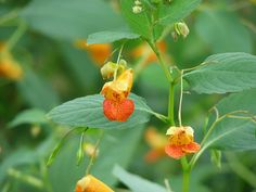 Learning Herbs:Jewel Weed