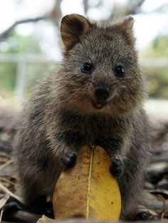 A quokka ... check out that smile. You'll find these little guys off the coast of Western Australia.: