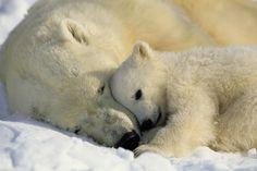 Isbjørnekram