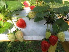 Morango na hidroponia. Perfeito pois evita contato com os bichos de chão. os morangos crescem sadios.