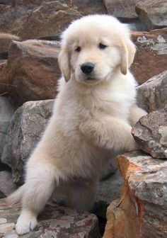 Jack, a golden retriever from Glen Rose, Texas Cute Dogs And Puppies, I Love Dogs, Doggies, Adorable Puppies, Chien Golden Retriever, Golden Retrievers, Animals And Pets, Cute Animals, Sweet Dogs