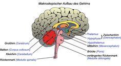 WOW! Nervensystem - Aufbau des Gehirns Endlich! Tolle präzise einfache Lernkarten und Beschreibungen.....Und das kostenfrei...super zum lernen und nachschlagen