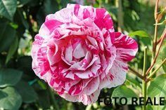 ROSA BREVETTATA A CESPUGLIO EDITH PIAF® profumata MEILLAND in vaso 25 cm