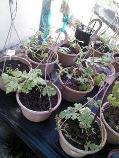Foto Blog Puerto Rico: Plantas de Melones 3