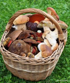 Smaczna Pyza: Wykręcać czy ucinać ? Jak zbierać grzyby ?