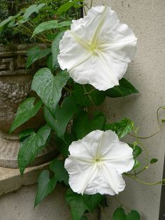 Moon flower vine. My mom gave me some of these seeds. Hope they will be good for Spring 2013 planting.