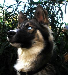 Gerberian Shepsky information and pictures German Shepherd Siberian Husky Hybrid Gerberian Shepsky information and pictures. The post Gerberian Shepsky information and pictures German Shepherd Siberian Husky Hybrid appeared first on Bruce Kennels. Australian Shepherd Red Tri, German Shepherd Dogs, German Shepherds, Short Haired German Shepherd, Animals And Pets, Funny Animals, Cute Animals, Beautiful Dogs, Animals Beautiful