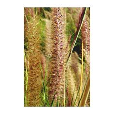 "Foxtail grass macro photography picture gallery wrap 50% Off Wrapped Canvas Limited Time! Enter code: SPRINGCANVAS at checkout in the ""Zazzle Coupons/Gift Certificates"" box. Offer is valid through March 26, 2015 at 11:59PM PT. canvas"