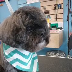 Baby #wagsmytail #tucsondoggrooming #doggrooming #doggroomer A well groomed dog is a well loved dog! Call us today to schedule your dog grooming appointment 520-744-7040