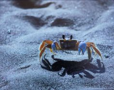 11 X 14 Matted Color Photo SAND CRAB by KimMoxleyCreations on Etsy, $29.00
