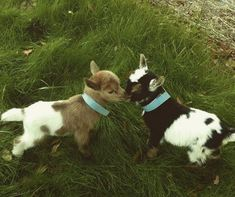 29 Funny Baby Goat Pictures That Show They Could Be the Most Adorable Animal of All Cute Baby Animals, Farm Animals, Animals And Pets, Funny Animals, Goat Picture, Cute Goats, Mini Goats, Amor Animal, Baby Goats