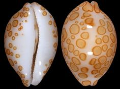 Apparently, these kind of shells are called cypraeidae.the world is so mysterious and amazing! Seashell Art, Seashell Crafts, Starfish, Shell Game, Jewel Of The Seas, Shell Collection, Coral, Snail Shell, Marine Life