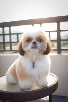 shih tz_ love love love that grooming job! going to take this pic in and tell my groomer to do the same for zac!