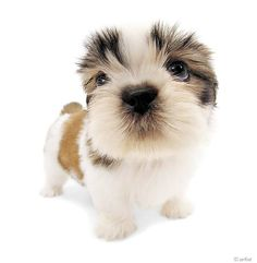 Artlist Collection THE DOG (Shih Tzu) — There is no bad day when your little one is waiting for you at home!