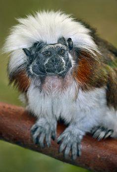 ʚĭɞnatureza - Cotton-top Tamarin photographed by Ion Moe at Brookfield Zoo.