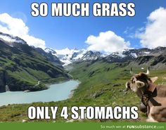 Did you know!? Cattle are ruminant animals so they have 4 compartments of their stomachs!!