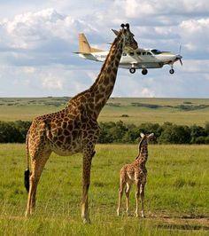 Si les vaches regardent passer les trains, les girafes préfèrent les avions
