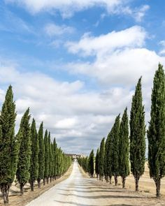 Cypresses are the custodians of Tuscany. They stand tall and...