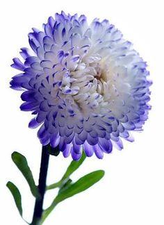 Aster.. Nieces birth flower.. September