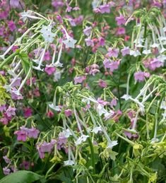Buy Nicotiana for Shade Collection from Sarah Raven: A marvellous trio for planting in sun or dappled shade. Harvest cut flowers to maximise flowering. Shade Flowers, Cut Flowers, Plant Delivery, Seed Packets, Types Of Soil, Garden Seeds, Indoor Plants, Planting Flowers, Garden Design