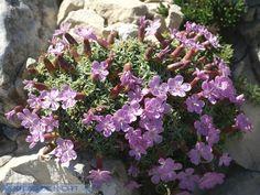 http://faaxaal.forumgratuit.ca/t3320-photo-de-caryophyllacee-oeillet-a-tiges-courtes-dianthus-subacaulis