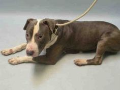 SUPER URGENT 01/23/17 MANDIE – A1101970 FEMALE, BLUE / WHITE, AM PIT BULL TER MIX, 3 yrs STRAY – STRAY WAIT, NO HOLD Reason STRAY Intake condition UNSPECIFIE Intake Date 01/22/2017, From NY 11419, DueOut Date 01/25/2017,
