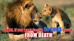 Save Cecil's 24 CUBS From DEATH! #SAVETHECUBS | YouSignAnimals.org