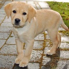 Mind Blowing Facts About Labrador Retrievers And Ideas. Amazing Facts About Labrador Retrievers And Ideas. Puppies And Kitties, Cute Puppies, Cute Dogs, Doggies, Kittens, Labrador Retrievers, Retriever Puppy, Labrador Puppies, Corgi Puppies