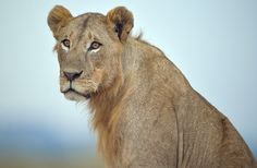 African Lions Gain Protection Under the Endangered Species Act The rule comes on the heels of widespread outrage following Cecil's death.